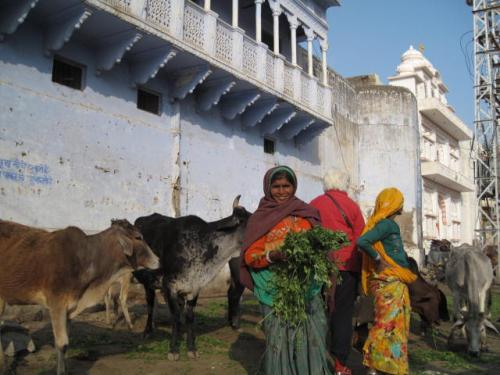 Women with the cows - Pushkar